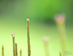 buds9425pcw (gerb) Tags: green topv111 backyard bokeh d200 f28 tvp 70200mmf28gvr pfo photofaceoffwinner pfogold