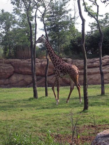 Giraffe at the Nashville Zoo