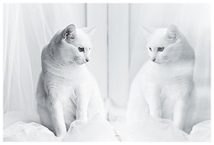 Mirror mirror on the wall who is the fairest cat of all? (Villi.Ingi) Tags: portrait white reflection window cat canon mirror feline bright getty highkey lotta soe gettyimages polarizing pipc 40d bestofcats platinumheartawards atqueartificia boc0708 w100f