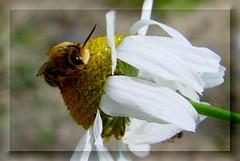 tiny bee-baby (Günter Hickstein) Tags: flower macro nature closeup blossom bees natur bee bumblebee tiny blume blüte biene uelzen wollbiene günterhickstein