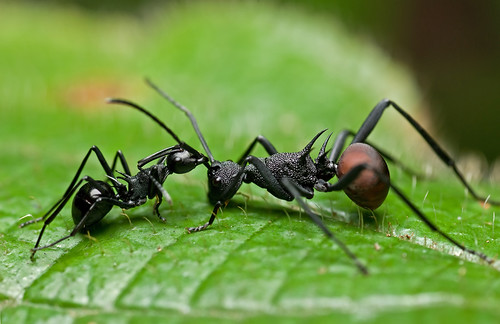 ant fight :D