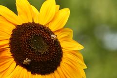 IMG_3993 (Blackavar Lion) Tags: insect bokeh bees sunflowers abeja insekt tournesol abeille girasol bij insecte biene  sonnenblume zonnebloem insecto hymenoptera       apoidea   canonrebelxti  anthophila  2be2176f59cfac7c3f99b44a73b29c9b