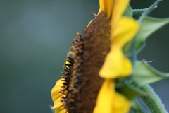 IMG_3516 (Blackavar Lion) Tags: flowers flower macro closeup bokeh bee sunflower bloom abeja tournesol abeille girasol bij biene  sonnenblume zonnebloem hymenoptera    apoidea  canonrebelxti  anthophila  2be2176f59cfac7c3f99b44a73b29c9b