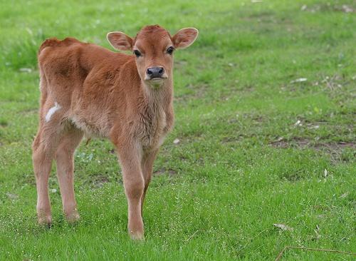 Nicholas as a young calf