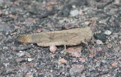 Another Grasshopper