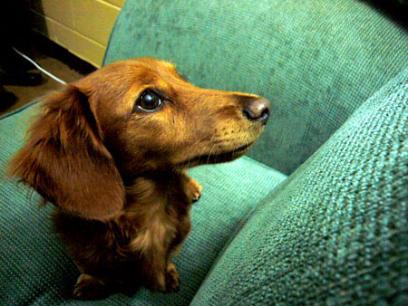 Bear is a mini long haired dachshund, weighs 7lbs, and he will be 1yrs old