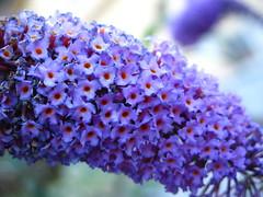 Lila de verano * Buddleja davidii por jacilluch