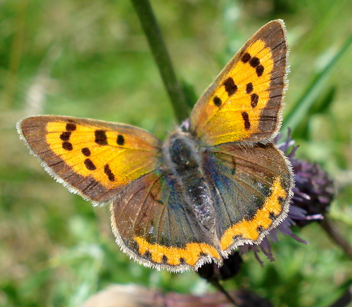small copper 3