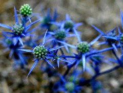 blue stars (Caucas') Tags: blue mer macro green nature azul digital canon turkey stars eos rebel star la interesting focus dof trkiye gray istanbul explore soil trkei f 400 mm 18 50 fiore mavi ankara ef turquia turkish noire eryngium yeil bitki turkei sinop gri toprak doa tabiat diken explored xti ef50mm18ii creticum grouptripod