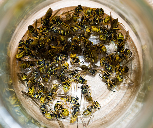 64 dead yellow jackets