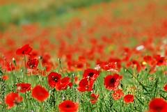 Castelluccio_399 (Bruno Maiorano) Tags: italien italy flower berg nationalpark italia poppies blume papaveri castelluccio mohnblumen montisibillini