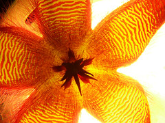 stapelia hirsuta (marcoxaero) Tags: camera flowers cactus plant flower macro nature digital photo succulent foto starfish great natura finepix fujifilm carrion fiori s5500 hoya stapelia kakteen orbea ceropegia huernia hoodia bellissimi asclepiad pseudolithos caralluma piaranthus apocynacee larryleachia rhytidocaulon echidnopsis trichocaulon brachystelma asclep raphionacme stapelianthus orbeanthus asclepiadacee huerniopsis ophionella