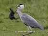 Blauwe Reiger eet konijn. Eerste foto uit een serie van 7. Op deze foto heeft de Blauwe Reiger zojuist een konijntje gevangen om er vervolgens mee naar een watertje te vliegen. Grey Heron eats rabit. This is the first photo out of a total of seven.