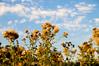 september golden light (poopoorama) Tags: sky clouds washington weeds nikon sigma snohomish printme d300 1850mmf28exmacrohsm