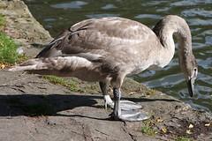 gkt_IMG_9734CC (somersetman) Tags: wells somerset swans cygnets
