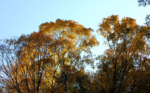 YellowTrees along Cannon Valley Trail