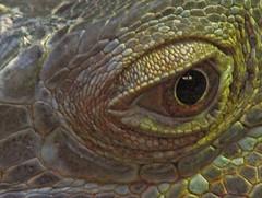 Eye (ash2276 ) Tags: ontario canada eye niagarafalls reptile