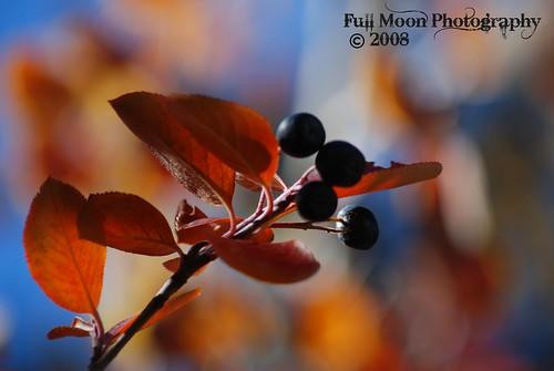 Fall Berry Bokeh