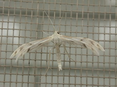 Wheeleria spilodactylus