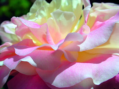 rose ( Graa Vargas ) Tags: flower rose nikon gallery explore excellence interestingness350 i500 graavargas duetos 2008graavargasallrightsreserved 15185300310810