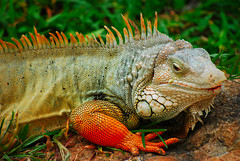 iguana (lav_nida) Tags: animals thailand nw iguana natureviews digitalcameraclub photofaceoffplatinum a3b pfogold