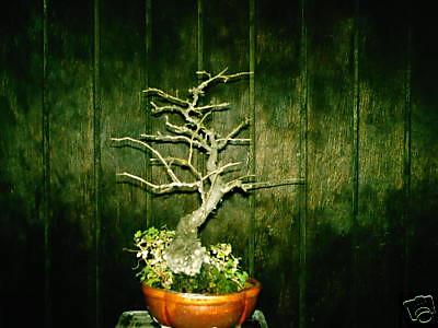 winterberry- Euonymus bungeanus   (sold)