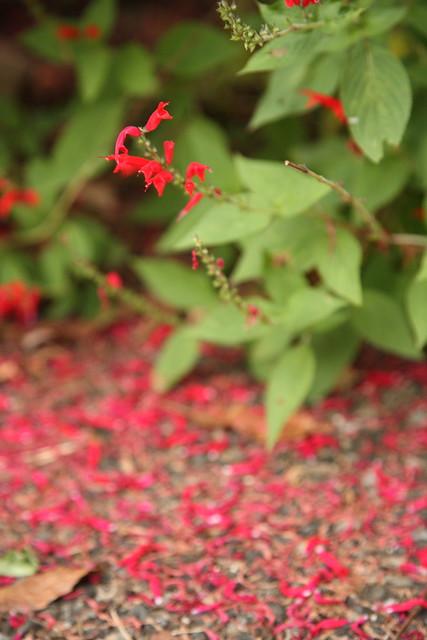 晩秋の花びら
