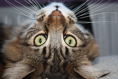 Taz (voodoo_child_91) Tags: brown cute classic cat canon nose eyes feline lol tabby tiger maine adorable kitty fluffy taz down mini whiskers coon mainecoon stare upside purrfect
