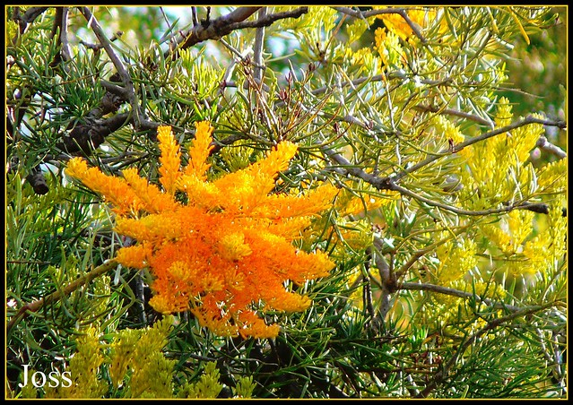 Known locally as the West Australian Christmas Tree, it sets the bush ablaze