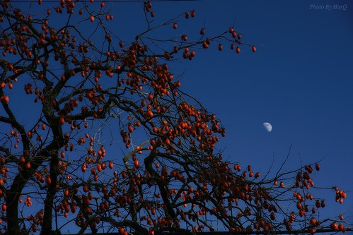 The Persimmon and the Halfmoon