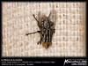 La Mosca en la Cortina (NecatPace.ORG) Tags: macro ecuador mosca guayaquil guayas
