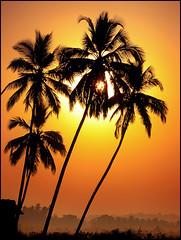 Palm Trees & sunrise (bnilesh) Tags: winter india sunrise searchthebest goa supershot platinumphoto anawesomeshot goldstaraward sillhouttue