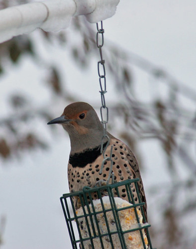 Female Red Shafted Northern Flicker