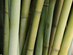 Bamboo (AmyKClark!) Tags: plants green bamboo flickrchallengegroup flickrchallengewinner