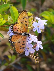 Beauties of the third kind! (asis k. chatt) Tags: nature butterfly insect royal visualart pleasant naturephotography smorgasbord topshot naturalpatterns goldenglobe naturescene insectmacro flowerinsect naturalharmony flickraward naturewatcher buzznbugz natureselegantshots panoramafotografico