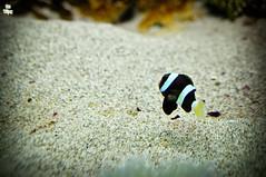 Bewildering Stripes (Lemuel Montejo) Tags: fish nature water nikon dof bokeh manila oceanpark d90 sigma28mm boholano garbongbisaya emwing emwingmontejo lemuelmontejo