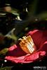 Red Camellia (a.d.miller) Tags: flower macro canon bush flora florida camellia pensacola 28135mmis redcamellia 40d semidoublefloweredcamellia
