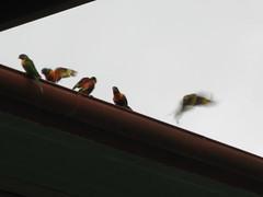 Frolicking Lorikeets (grace_kat) Tags: birds lorikeets
