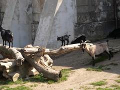100425_SchlossHof087 (weisserstier) Tags: black animal animals tiere goat ziege schwarz tier capra schlosshof