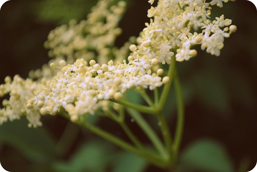 elderflower cordial ::