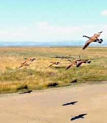Canada Geese (Cepreu K) Tags: california shadow bay fly geese wings goose sanmateo canadagoose brantacanadensis    friendlychallenges thechallengefactory
