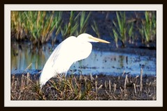 Great Egret (blmiers2) Tags: bird nature water beautiful birds geotagged photo nikon florida wildlife ave egret avian greategret egrets ardeidae ardeaalba birdphoto blm18 blmiers2