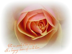 The Rose............... ( artkat0116  away) Tags: friends flower rose petals heart quote rosepetals naturesfinest thelanguageofflowers masterphotos superbmasterpiece diamondclassphotographer flickrdiamond haveawonderfulweekfriends