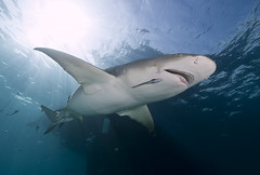 Lemon shark (Ken Bondy) Tags: shark underwater fins lemonshark anawesomeshot diamondclassphotographer flickrdiamond natureandnothingelse naturallymagnificent