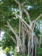 Key West 2008 (MittenStatePhototog) Tags: keywest banyantree