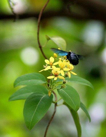 carpenter bee on flower lalbagh