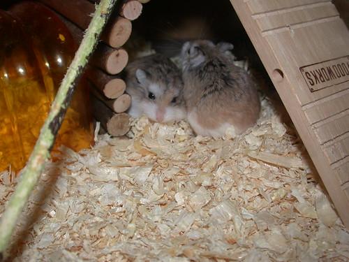 Cute Roborovski (2) by roborovski hamsters.