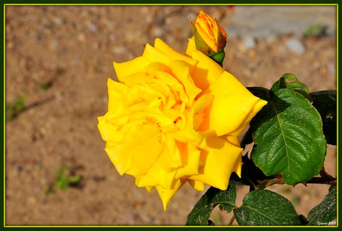 A yellow rose from Bodrum Turkiye