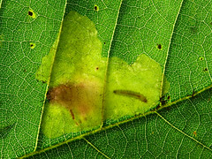 10.001  BF123 Tischeria ekebladella, occupied mine. (Patrick Clement.) Tags: macro insect lumix moth larva raynox leafmine tischeria ekebladella nationalmothweek