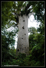 Agathis australis - Tane Mahuta - Tallest Agathis australis - Southern Kauri (Black Diamond Images) Tags: newzealand nz bigtrees waipouaforest oldtrees tanemahuta araucariaceae kauripine ancienttrees agathisaustralis taitokerau blackdiamondimages newzealandrainforest southernkauri largesttrees newzealandrainforesttrees agedtrees oldestwood ancientkauri ancienttimber